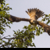 2Red Shouldered Hawk Flight - ID: 15831079 © Jacquie Palazzolo