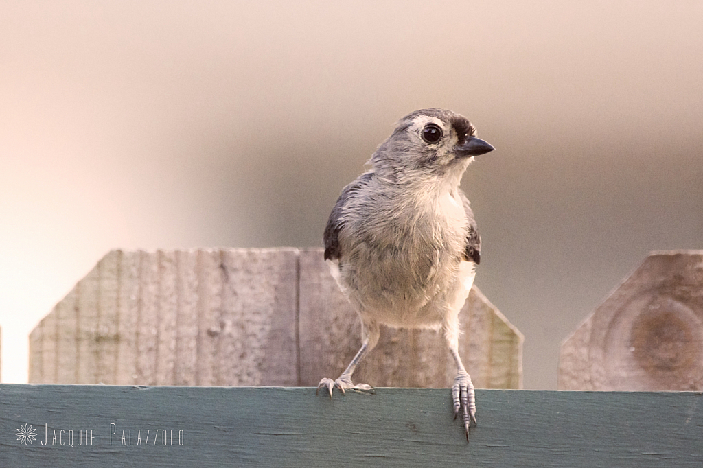 Tufted Titmouse - ID: 15831082 © Jacquie Palazzolo