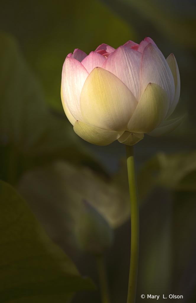 Dawn at the Lotus Pond