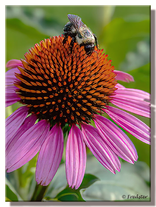 Bee On A Cone Flower