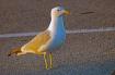 Herring Gull @ Su...