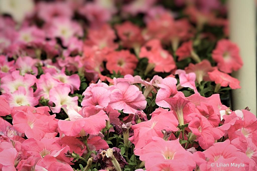 Pink Flowers - ID: 15834433 © Nada Mayla