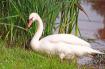 The Swan Leaves t...