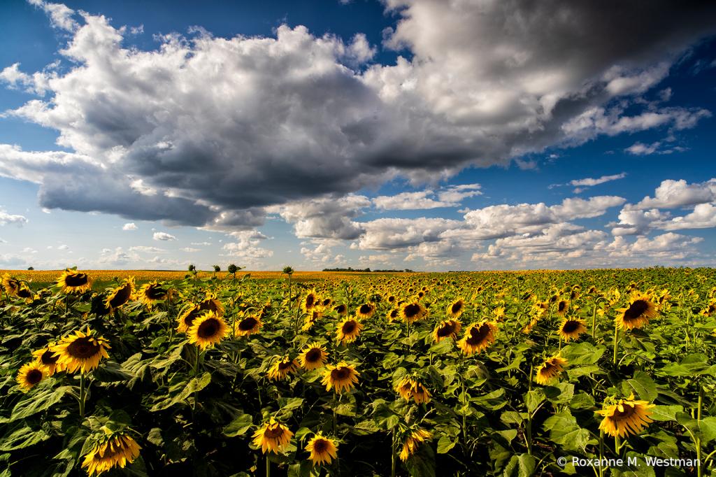 Sunflower season is here - ID: 15836926 © Roxanne M. Westman