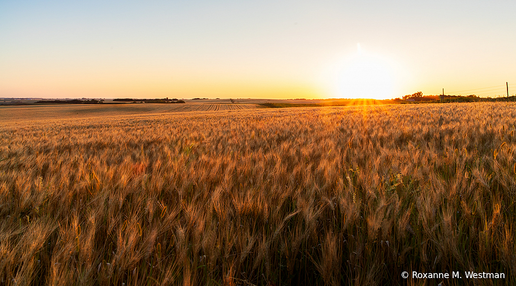 Wheat ripened for harvest - ID: 15838420 © Roxanne M. Westman