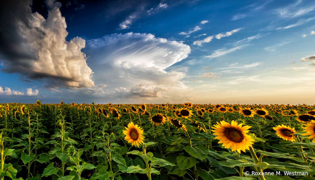 Storm forming over sunflowers - ID: 15846291 © Roxanne M. Westman