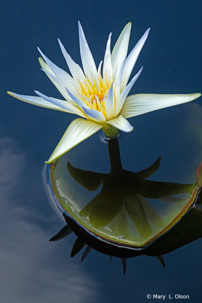 Egyptian White Water Lily