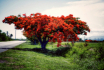 Red Flower Tree S...