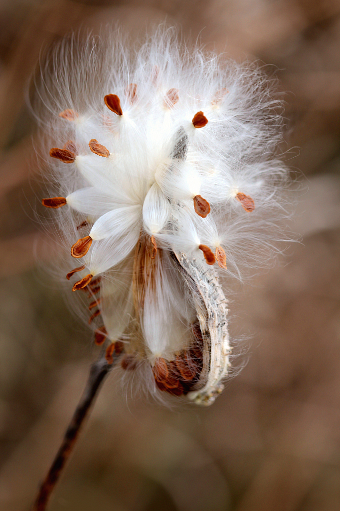 Just Another Milkweed - ID: 15847246 © Carolyn  M. Fletcher