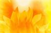 Sunflower Flames