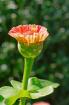New Zinnia Bloom