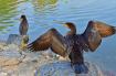Two Cormorants
