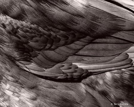Close Up of a Blue Runner Duck