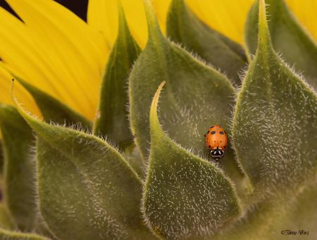 Ladybug in Sunflower