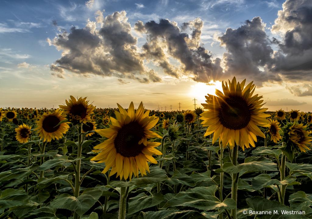 Sun peaking through sunflowers - ID: 15854512 © Roxanne M. Westman