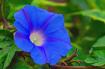 Blue Morning Glor...