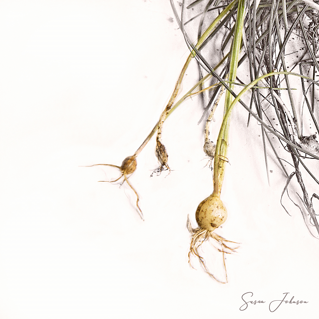 Onion Weeds - ID: 15855639 © Susan Johnson