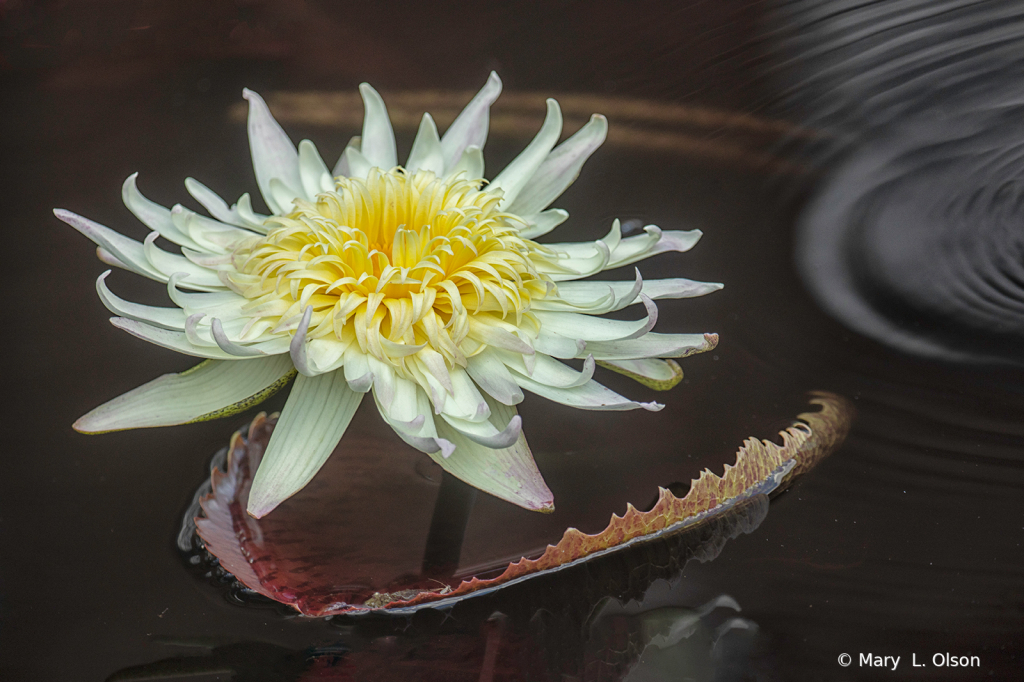 Tropical Water Lily 1