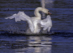 Dancing Swan