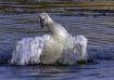 Dancing Swan #2