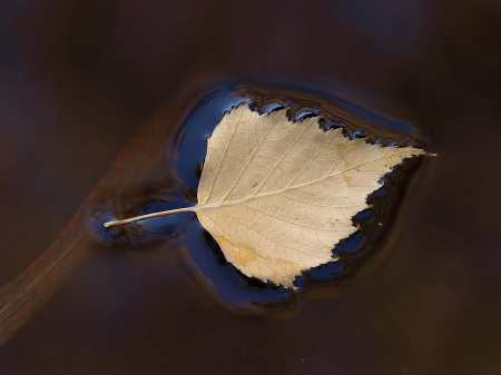 The Photo Contest 2nd Place Winner - Fallen birch leaf on reddish waters