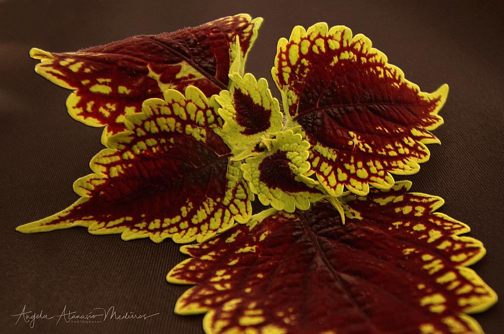 Fallen Wings of the Coleus - ID: 15865307 © Angela Atanasio-Medeiros