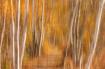 An Autumn Birch P...