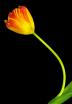 Two Tone Tulip