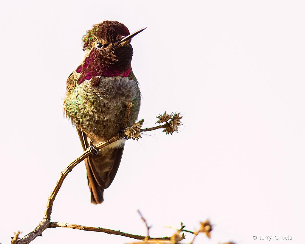 Anna's Hummingbird - ID: 15866429 © Terry Korpela