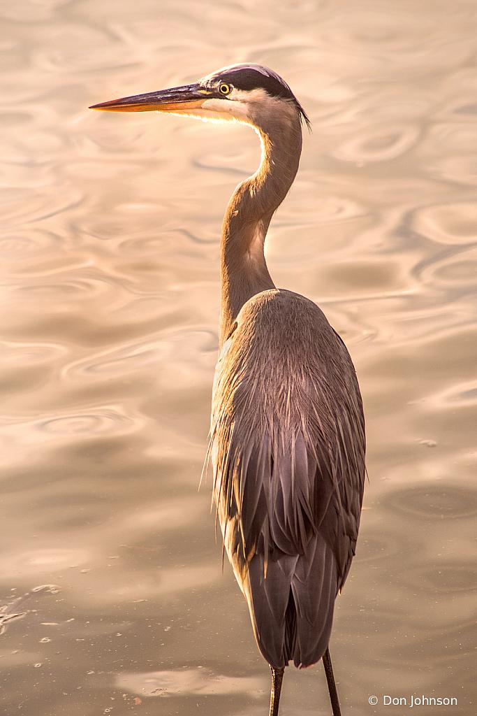Great Blue Heron Portrait at RIO - ID: 15866701 © Don Johnson