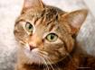 AJ The Tabby Cat