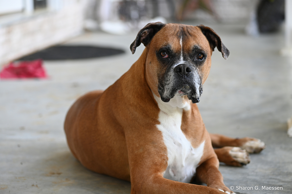 The Man Dog of Taking Life Easy - ID: 15870283 © Sharon G. Maessen