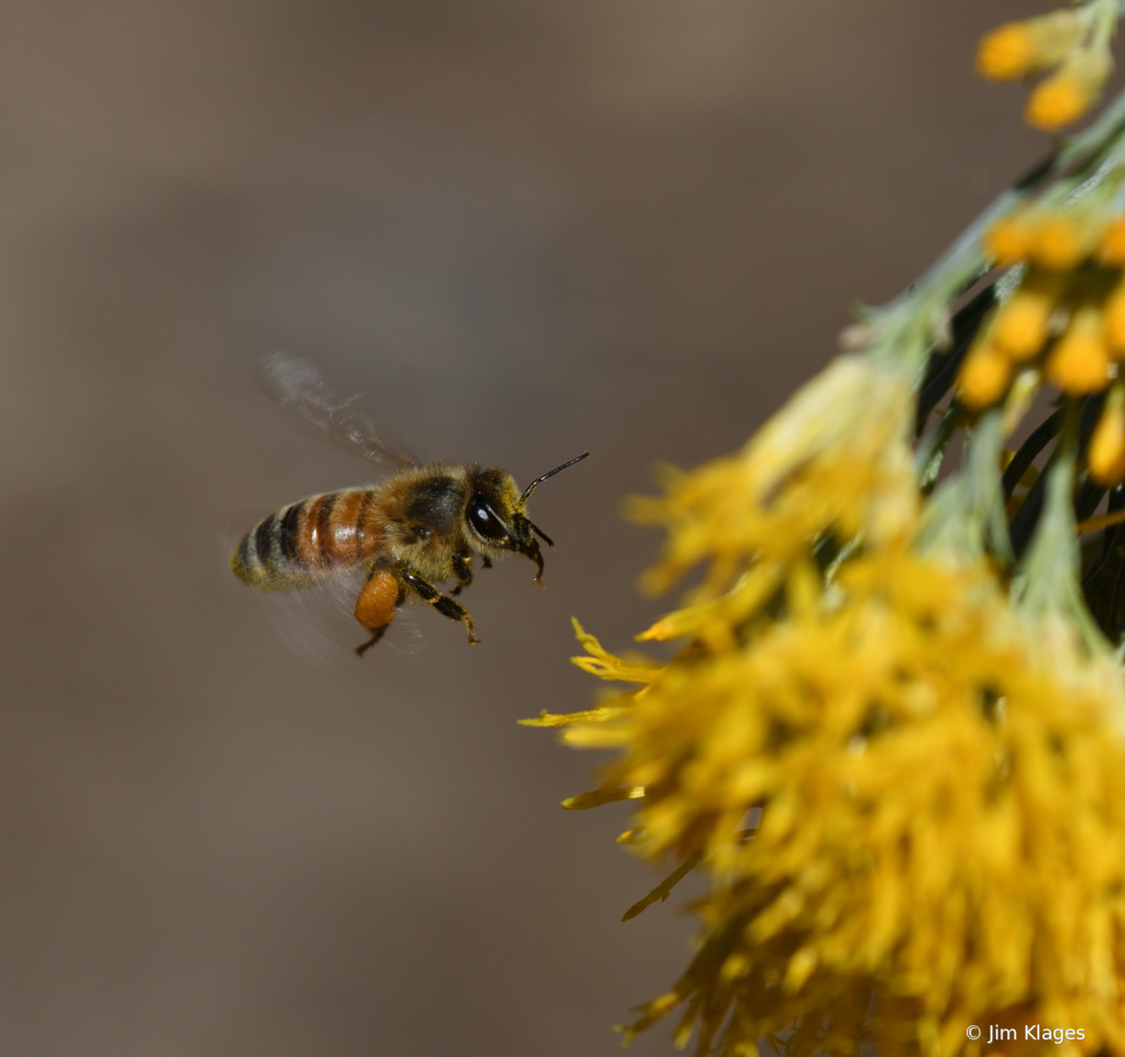 Bee Approaching a Rabbitbrush Blossom - ID: 15870812 © Jim Klages