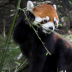2Red Panda - ID: 15871559 © Jacquie Palazzolo