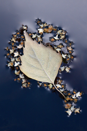 Floating birch leaf and seeds