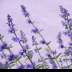 2Lavender - ID: 15874022 © Jacquie Palazzolo