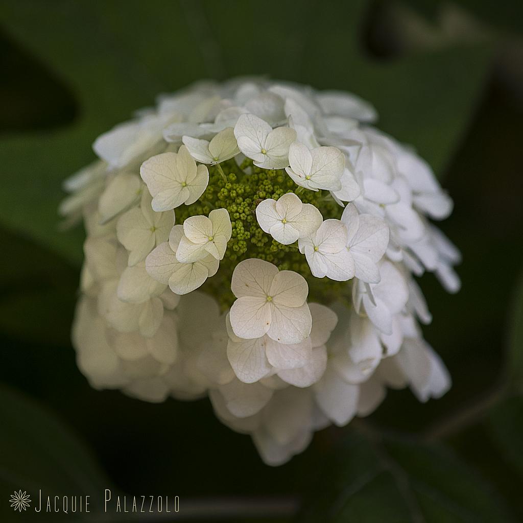 WhiteBlossoms - ID: 15874034 © Jacquie Palazzolo