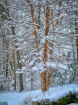 Birch in the snow