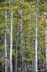 The Aspen Forest