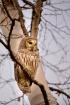 Barred Owl - A Pr...