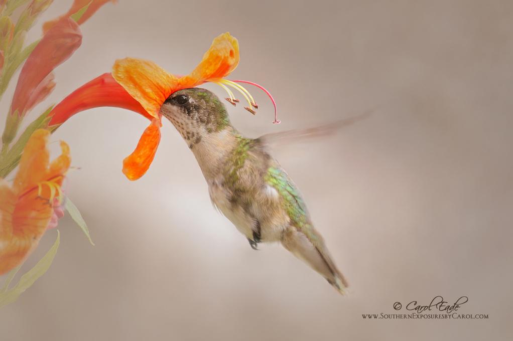 Sipping Honeysuckle - ID: 15879358 © Carol Eade