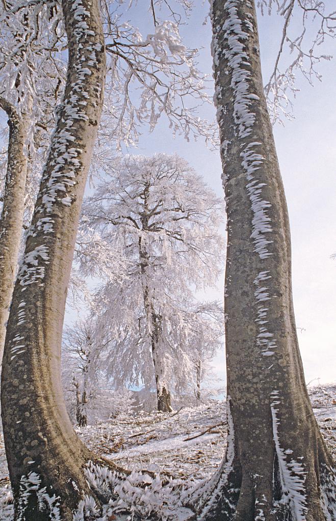 White tree in frame. - ID: 15881269 © Elias A. Tyligadas
