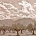© Elias A. Tyligadas PhotoID# 15881426: Olive trees field.