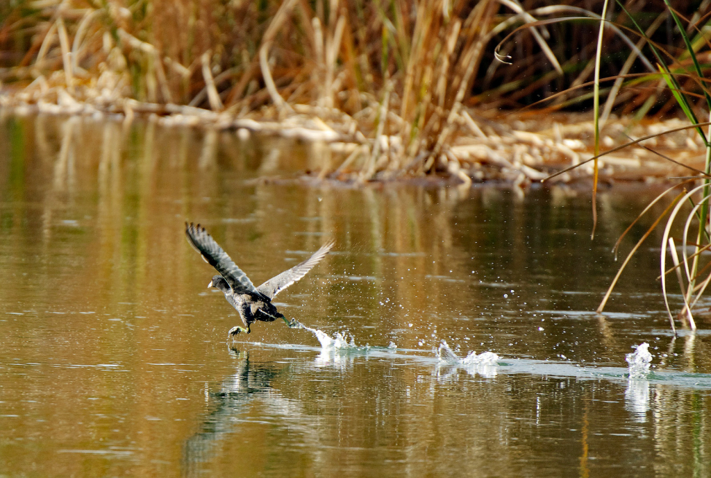 Running Takeoff - ID: 15882256 © Sheila Faryna