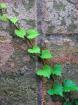 Diagonal Vine