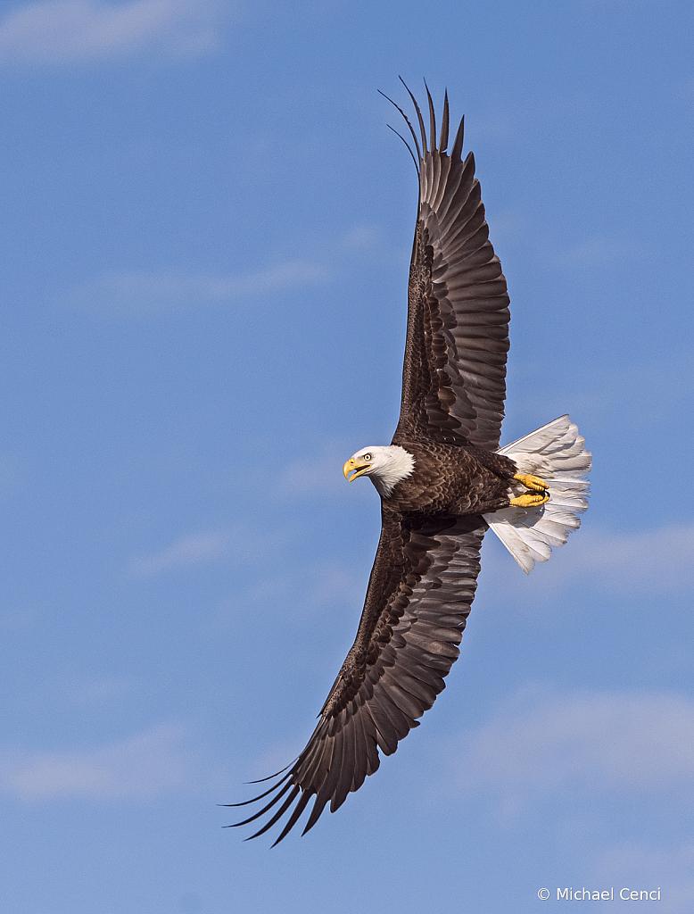 Eagle # 42 - ID: 15883084 © Michael Cenci