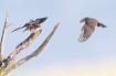 Merlin Falcon Bri...