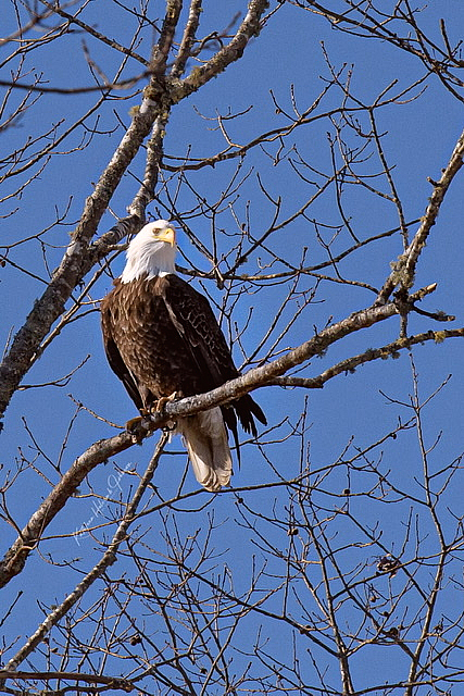 Our National Symbol - Majestic Eagle! - ID: 15883591 © Kathleen Holcomb Johnson