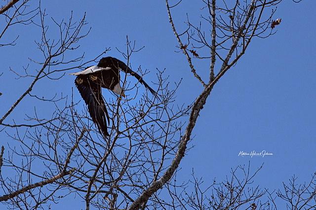 Our National Symbol - Majestic Eagle! - ID: 15883600 © Kathleen Holcomb Johnson