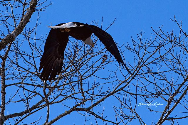 Our National Symbol - Majestic Eagle! - ID: 15883602 © Kathleen Holcomb Johnson